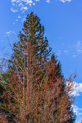 climb higher (pbo31) Tags: california blue winter red sky 3 color tree nature up yard outdoors nikon earth january growth japanesemaple bark eastbay redwood livermore pleasanton alamedacounty 2016 boury pbo31 d810