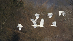 Velike bele aplje (natalija2006) Tags: white bird heron nature alba great aves ardea slovenia bela egret albus velika casmerodius narava pti aplja