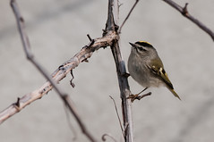 Golden (martytdx) Tags: winter male birds lifelist nj regulus trenton flycatcher goldencrownedkinglet kinglet regulussatrapa regulidae trentonsewerworks
