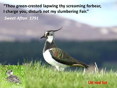 lapwing in verse (BSCG (Badenoch and Strathspey Conservation Group)) Tags: wildlife verse