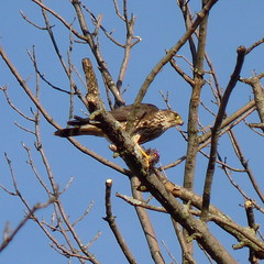 A Merlin eating breakfast (Dendroica cerulea) Tags: winter bird newjersey nj aves merlin falcon highlandpark birdofprey falco predation falconiformes falconidae falcocolumbarius fav10 middlesexcounty neoaves neognathae donaldsonpark falconinae eufalconimorphae