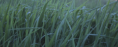 Green Field Grass, May 25, 2014 (marylea) Tags: green field grass 2014 may25 fieldgrass
