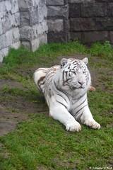Tigre blanc (Johanna Viala) Tags: zoo tigreblanc pairidaiza zoodebelgique