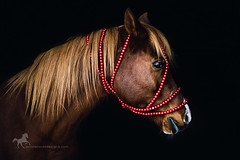 Arabian Horse (purple horse designs) Tags: red horse orange black nature animal dark fineart chestnut arabian equestrian equine