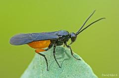 Braconidae sp (David Hdez. ) Tags: naturaleza insectos macro nature invertebrados sigma180mmmacro nikond7100