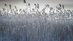 A bed of reeds (mika.laitinen) Tags: ocean winter sea sky snow ice beach nature silver suomi finland reeds frozen helsinki frost shore vuosaari uusimaa kallvik ef24105mmf4l canon7d healsinki