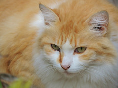 Princess Minnie (Ani Carrington) Tags: pet love cat ginger orangecat princess sweet minnie gingercat lonhaired lonhairedcat
