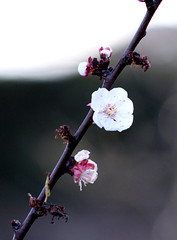 A promise too early (wit) Tags: flower apricot blossum