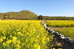 Mustard Field (Asif Saeed [....DOCUMENTING PAKISTAN...]) Tags: old history ruins temples punjab hindu archeology mallot asifsaeed wintertravelinpakistan historicbuildings