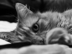 Keeping an Eye on you! (DapperGentMike) Tags: bw cats eye cat hair ginger feline whiskers broadstairs