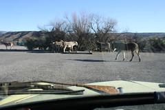 ghia donkeys 2 (EllenJo) Tags: arizona donkeys canonrebel burros equine digitalimage verdevalley clarkdale 2016 february3 ellenjo ellenjoroberts winterinaz lifeoutwest