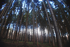 (nic lawrance) Tags: trees light shadow nature lines woodland dark shine perspective cotswolds gloucestershire tall