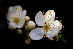 Blossom (payne1703) Tags: flowers sun white macro blossom details shaft hedgerow