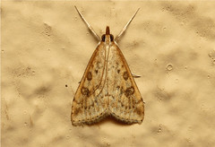 Pyralidae (Moth sp.) - South Africa (Nick Dean1) Tags: insect southafrica moth insects lepidoptera arthropods arthropoda krugernationalpark arthropod hexapod insecta lowersabie hexapods hexapoda
