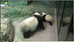 I'll race ya to the boo, Mom. (partipersian) Tags: playing bamboo boo headstand meixiang beibei