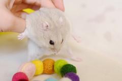 DSC_6304 () Tags: pet hamster  hammy    animal