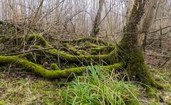 farest, Brbach/SG-09642 (dironzafrancesco) Tags: trees plant nature forest landscape schweiz sony natur pflanzen landschaft wald bume thur ch sanktgallen oberbren sigma1020mmf35exdchsm slta77 brbachsg