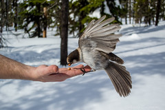 A Gray Jay in the Hand (C-Brese) Tags: bird closeup grey jay wildlife gray grayjay greyjay perisoreuscanadensis whiskeyjack canadajay cbrese