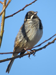 Reed Bunting, near Rickerby, 28 February 16 (gillean55) Tags: camera bridge male bird reed canon river singing north powershot cumbria eden hs bunting superzoom emberiza schoeniclus rickerby sx50
