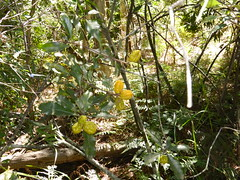 Pittosporum revolutum (tessab101) Tags: wild yellow garden jasmine australia nsw wildflower kuringgai pittosporum revolutum