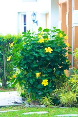 Yellow Blooms (LarryJay99 ) Tags: flowers wedding yellow details hibiscus greenery preparations canonef70300mmf456isusm canon60d stockcategories greencontrast ilobsterit canonefs60mmf28macrousa