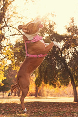 Roxy (Cruzin Canines Photography) Tags: california park dog pet pets playing cute dogs nature girl animal animals female canon outside mammal outdoors 50mm jump play action naturallight canine pit pitbull terrier domestic roxy bakersfield goldenhour americanpitbullterrier hartpark domesticanimal pitbullterrier 5ds canon5ds eos5ds canoneos5ds