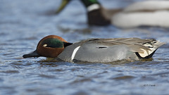 Green-winged Teal (featherweight2009) Tags: birds ducks waterfowl teals greenwingedteal anascrecca