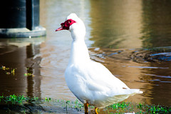 Muscovy duck (williams19031967) Tags: usa nature lens mexico duck nikon flood swans pro dslr tamron 18200 muscovy d7100 d7200