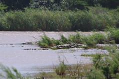 Crocodiles, St Lucia, South Africa (ARNAUD_Z_VOYAGE) Tags: africa park street white nature animal st landscape town district wildlife south small capital central rhino wetlands lucia greater wilderness region department province durban kwazulunatal municipality zululand umkhanyakude