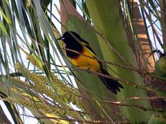 Black-cowled Oriole (KWSeattle) Tags: belize belizecity hoorhoodedoriole philipgoldsonhighwaynorthernhighway