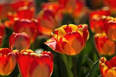 Tulips (Tim Devine Photography) Tags: flowers spring tulips pennsylvania longwoodgardens voigtlnder125mmf25slmacroapolanthar sonya7rii ilce7rm2