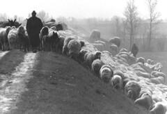 Ricordi (lincerosso) Tags: primavera nostalgia 1975 tempo bellezza novecento piave pastori cammino gregge armonia transumanza argini sandondipiave