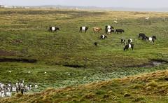 DSC03948 (peng_tim1) Tags: penguin cow antarctica antarctic falkland anartikis