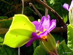 Zitronenfalter (Gonepteryx rhamni) (HITSCHKO) Tags: schmetterling pieridae zitronenfalter gonepteryxrhamni tagfalter weisslinge