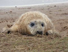 They will never see me behind this grass (Peanut1371) Tags: mammal seal pup greyseal donnanook nationalgeographicwildlife