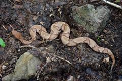 Agkistrodon contortrix (Eric Hunt.) Tags: snake copperhead agkistrodon viperidae pitviper agkistrodoncontortrix