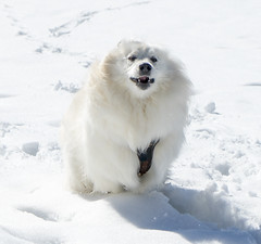 Dog running (Blochmntig) Tags: winter dog samoyed dogface samu winterwonderland snowdog whitedog winterlandschaft dogrunning dogruns samojede