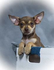 Hi knows is the Star.... (Carlos Ramirez Alva) Tags: dog pet chihuahua studio estudio perro mascota