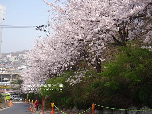 안산공원벚꽃04