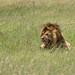 Lion roaring on the Serengeti plains