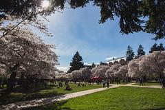 IMG_9458 (elenafrancesz) Tags: uw cherry blossoms wordless