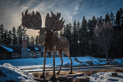 That moose again (carsonsamson) Tags: tourism moss moose manitoba clearlake nationalparks hdr ridingmountain