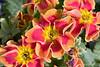IMG_6563 (Alessandro Grussu) Tags: flowers flower macro 20d canon blumen fiori blume fiore