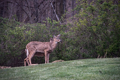 Two Doe in the yard, failing light (Donald.Gallagher) Tags: backyard de delaware lenstagger nature northamerica pikecreek spring typetelephoto usa woodcreek woods brown bushes eyes grass green outdoors twigs