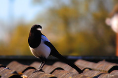 magpie (gshaun12) Tags: bird nature animals closeup bokeh wildlife country magpie
