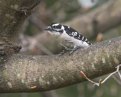 Downy Woodpecker (male) (wplynn) Tags: wild male bird birds woodpecker indianapolis indiana woodpeckers downy avian castleton pubescens picoides