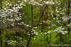 Dogwood Monongahela National Forest (travelphotographer2003) Tags: usa green nature ecology beauty forest landscape outdoors spring solitude westvirginia serenity bloom remote serene dogwood wilderness appalachianmountains alleghenymountains monongahelanationalforest williamsriverscenicbackway cornusfloride