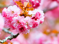 () Tags: park travel pink flowers trees light sky white plant flower macro tree castle nature japan garden cherry spring blossom bokeh blossoms sigma olympus apo  cherryblossom  sakura cherryblossoms  f28 cherrytree omd cherrytrees  em1   cherryblossomfestival     m43 150mm sigma150mmmacro  sigma150mmf28  150mmf28  sigmamacro150mmf28 micro43 microfourthirds  sigmaapomacro150mmf28 olympusem1
