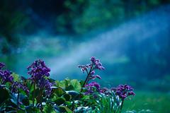 purple rain (cbaarch) Tags: flower water rain purple britishcolumbia okanagan prince sprinkler summerland summerlandornamentalgardens