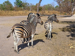 Zebras, Fathala Reserve, Senegal (**Anik Messier**) Tags: africa nature animals reserve safari senegal animaux zebras afrique wildness rserve snral